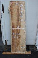 画像1: 黒松(クロマツ)-050 (1)